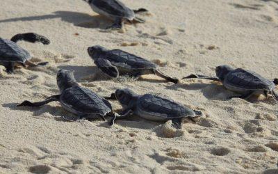 FPMC registra cifra récord de nidos de tortuga marina