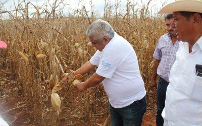 Inicia trilla de maíz de alto rendimiento en Quintana Roo, se estima una producción de más de 13 mil toneladas